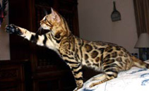 Bengal Cats - Bengal Kittens For Sale