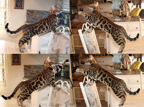 Bengal Cats - San Diego County Bengal Cat Breeder