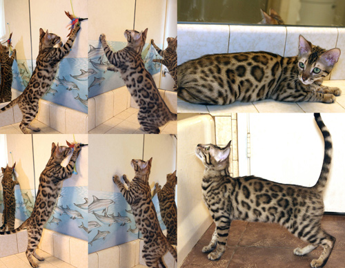 Bengal Kittens For Sale Bengal Champions