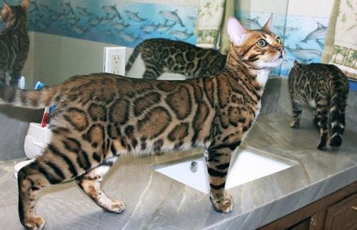 Bengal cat san diego : Bob evans kids eat free night