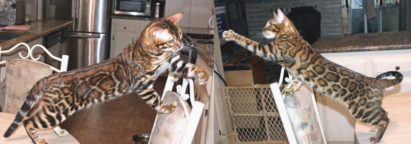 Bengal Kittens For Sale - Bengal Kittens For Sale