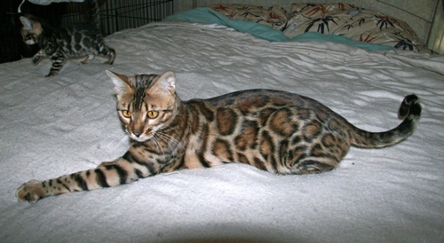 Retired Bengal Cats - Bengal Kittens For Sale