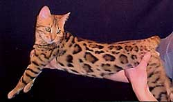 Bengal Kittens For Sale Bengal Champion