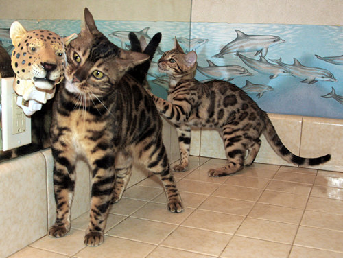 Bengal Cats For Sale Bengal Champion
