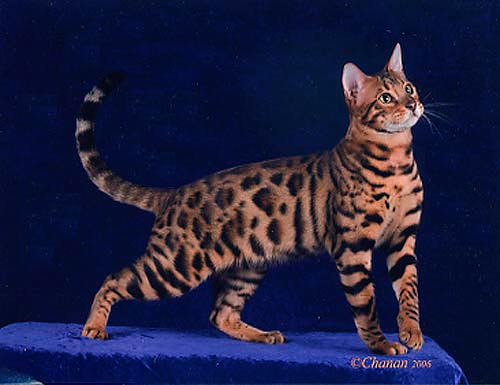 Bengal Kittens For Sale Rosetted Bengal Cats