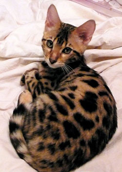Bengal Cats For Sale California Bengal Breeder